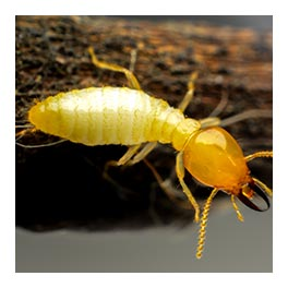 diagnostic parasitaire (termites, mérules, charançons)